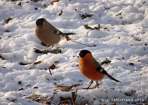 Intensivkurs – Vinterfåglar inpå knuten