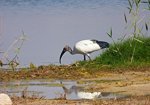 Helig ibis. En raritet i Salalah.