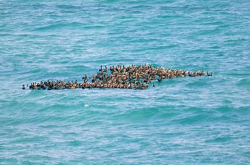 """En flock av sokotraskarv. En fågel som är """"sårbar"""" på röda listan för hotade arter."""