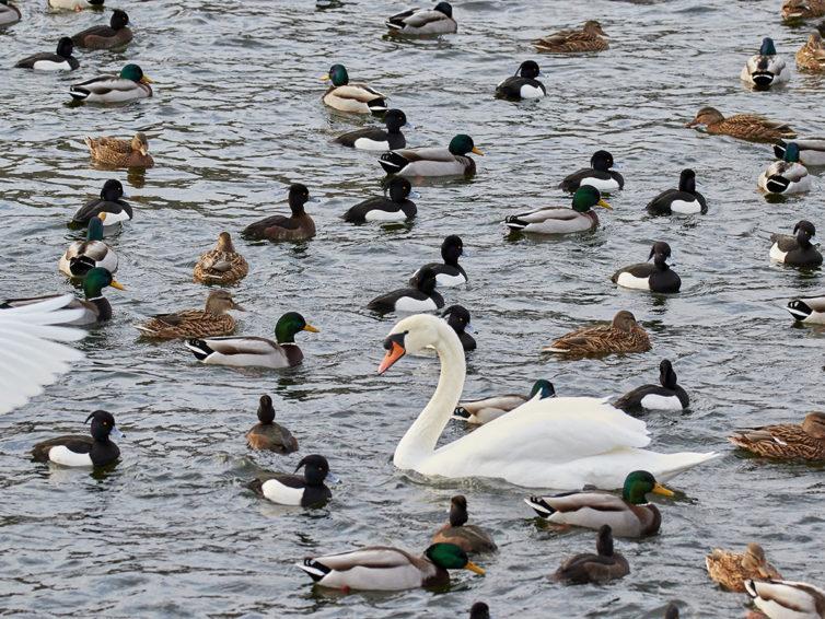 Kalmar stadspark – Fågelvandring i stadsmiljö</br>29 december 2019