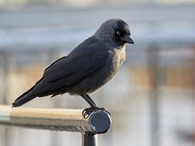 Fågelvandring i Kalmar