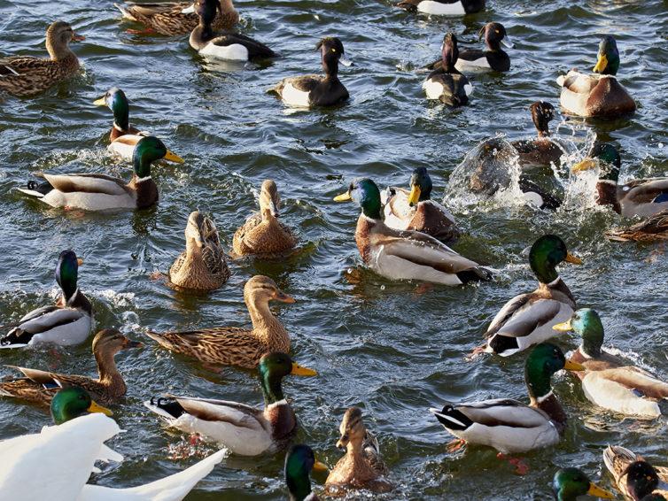 Fågelvandringar i Kalmar vår/sommar 2020