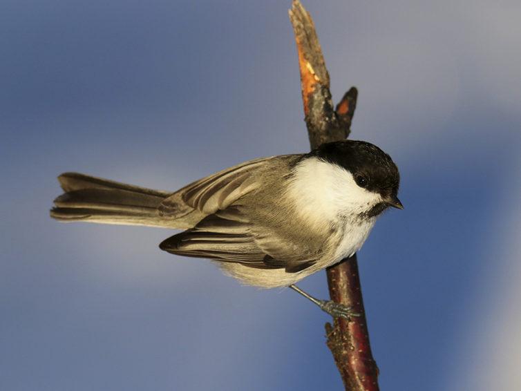 Fågelskådarkurs på Folkuniversitetet