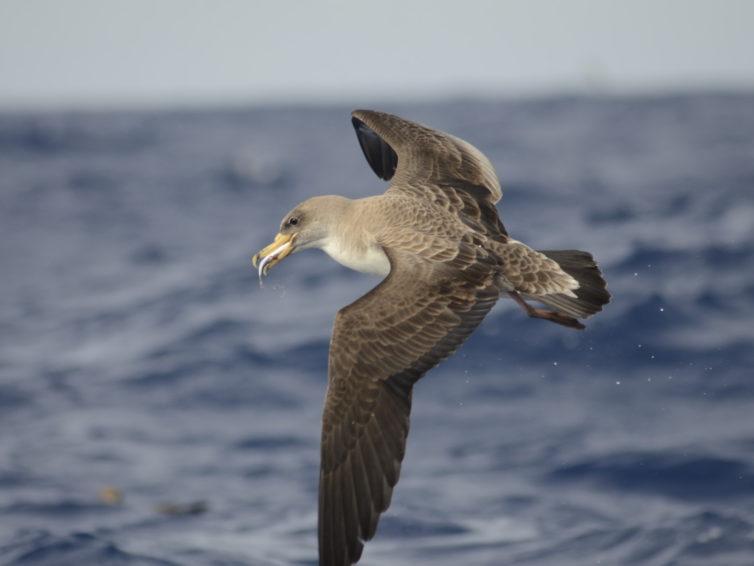 Madeira – Havsfågeltur</br>30 maj-6 juni 2021