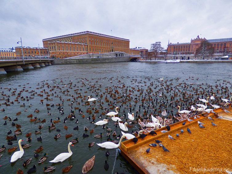 Fågelskådning och glöggmys vid Stockholm ström